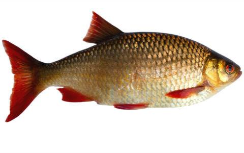 Rudd (scardinius erythrophthalmus).
