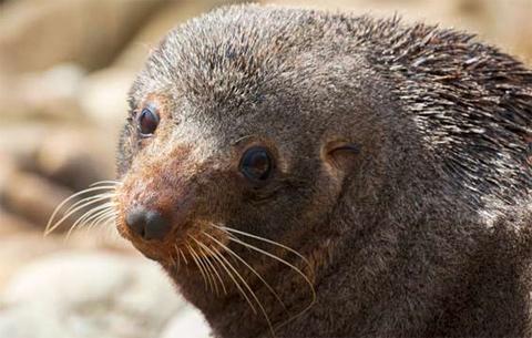 New Zealand fur seal/kekeno