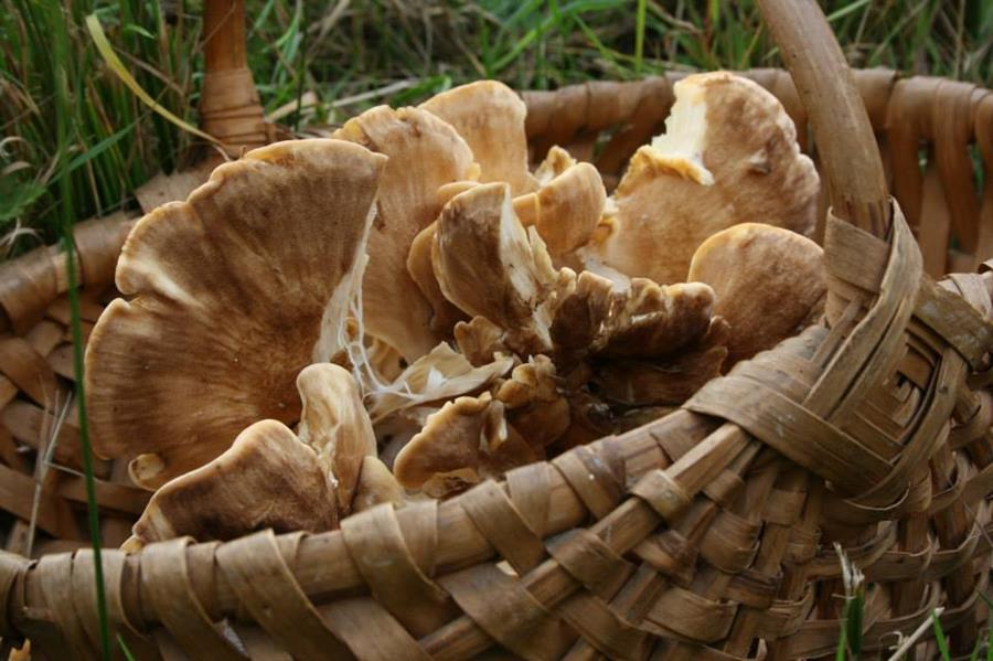 Basket of fungi