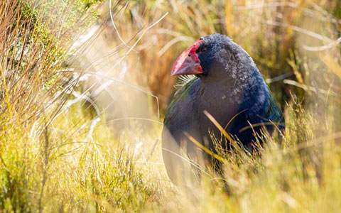 Takahē in the tussock.