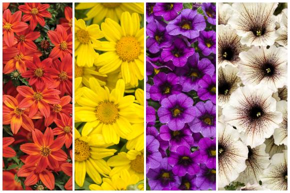 Fall flowers, bidens, daisy, calibrachoa, petunia
