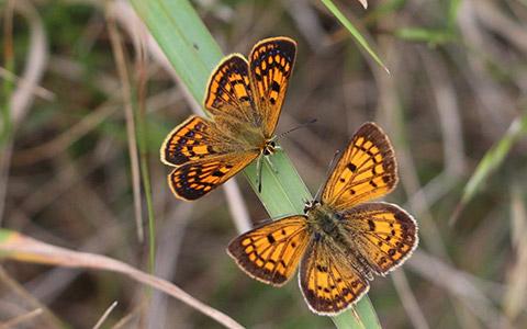 Copper butterflies.