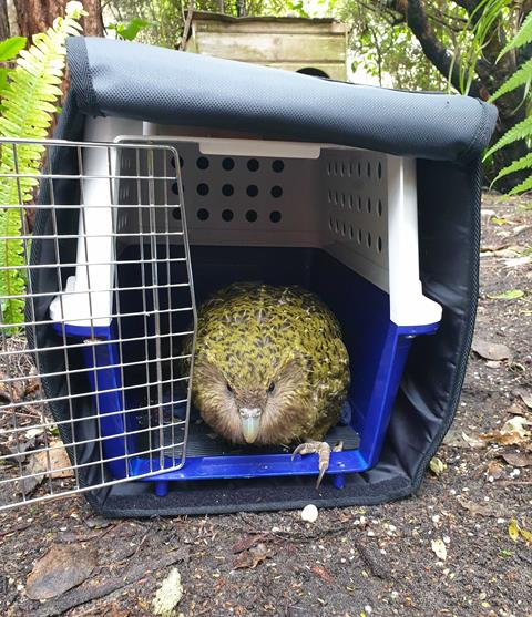 Toiora returns from Auckland Zoo aspergillosis treatment. Photo S. Little