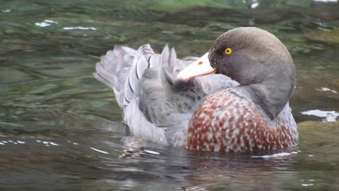 Photo of a whio / blue duck floating on the Tongariro River. Photo: Malcolm Swanney