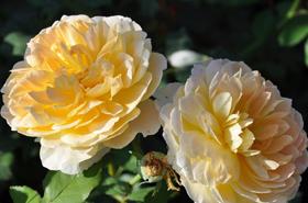 Princess Grace of Monaco rose