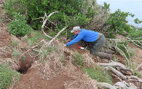 Checking a toanui burrow on Motumahanga Island.