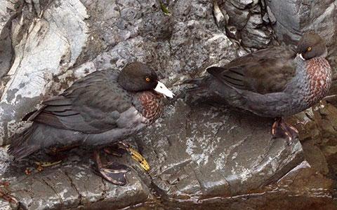 Whio pair on the Oroua River.