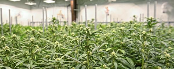 Alberta announces private cannabis retail regulations