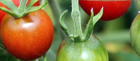Arrington Garden Centre Tomato Plants April 2018
