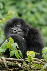 Young Mountain Gorilla in Rwanda  Will Bolsover