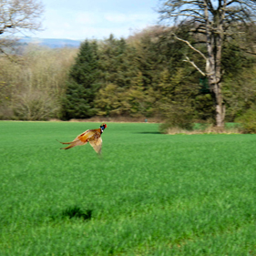 Pheasant taking off over farmland