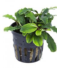 Tropica Bucephalandra Wavy Green