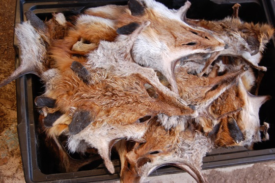 Fox and wild dog bounty