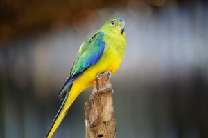 Orange Bellied Parrot on log