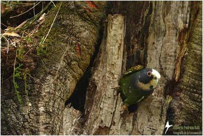 White-crowned Parrot. © Roberto Pedraza.