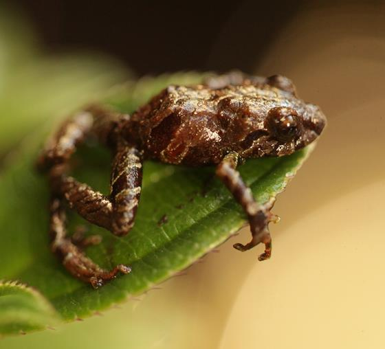 Pristimantis purocafeum, a new species of frog discovered in Ecuador and named after Puro coffee. © Andy Orchard.