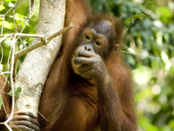 Bornean Orang-utan. © Chris Perrett naturesart.co.uk.