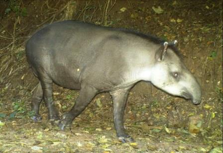 Lowland Tapir caught on camera trap in Argentina. © Francesco Rocca.