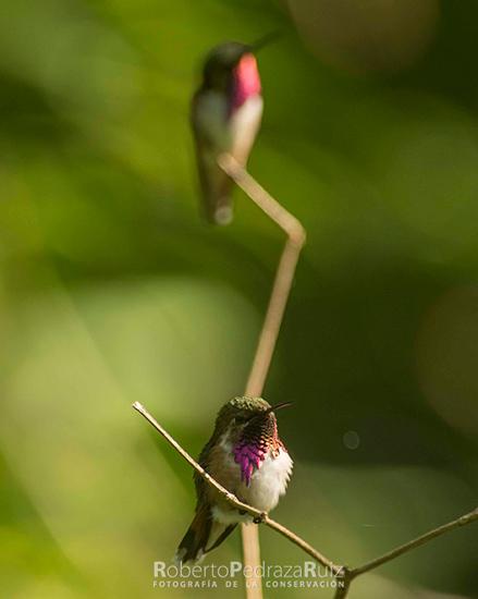 Bumblebee Hummingbird. © Roberto Pedraza Ruiz