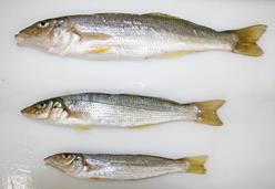 Three yellowfin whiting of different sizes on a table