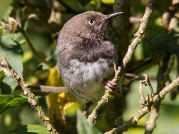 Taita Apalis. © Peter Steward/Birdlife International.