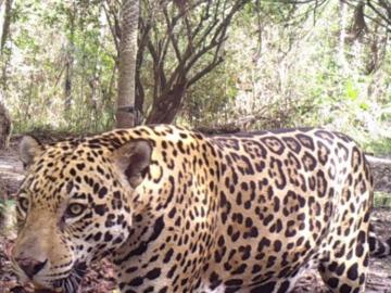 Jaguar in Chaco-Pantanal. © Guyra Paraguay.