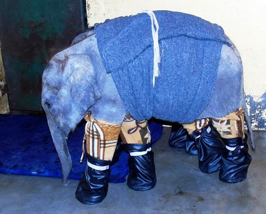 Elephant calf with boots. © WTI.