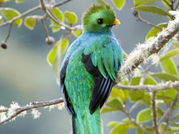 Resplendant Quetzal. © Greg S. Garrett.