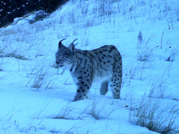 Caucasian Lynx in the snow-capped mountains of Armenia. © FPWC.
