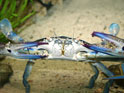 Close up of a blue swimmer crab on a sandy ocean floor