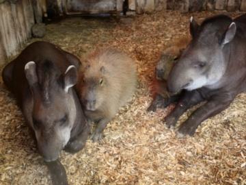 Capybara and Lowland Tapir. © Blackpool Zoo