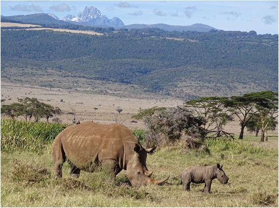 It's baby time at Lewa! Eleven black rhinos born so far in 2021 is our highe