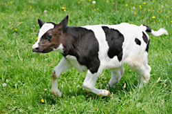 Picture of: baby calf