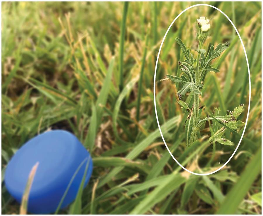 Parthenium weed flowering in irrigated lawn