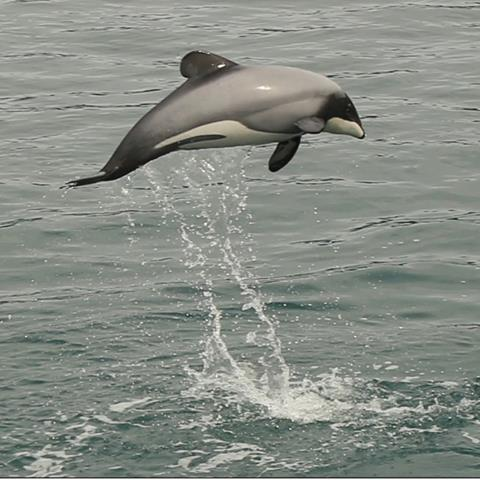 A Hector's dolphin leaps
