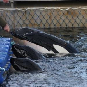Orcas in cramped conditions in 'whale jail'