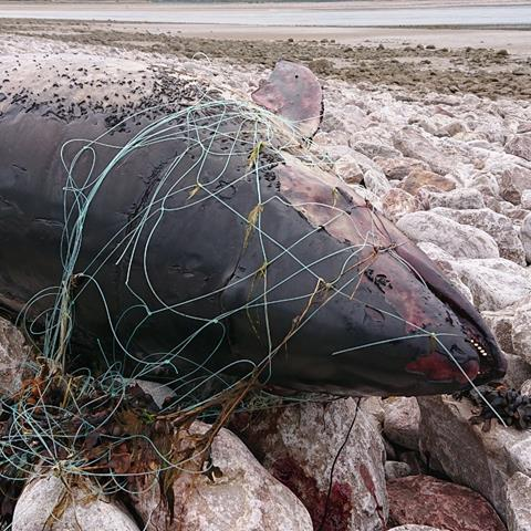 Poproise in fishing net
