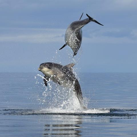 two dolphins leap