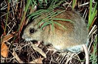 Hastings River Mouse_E.Slater OEH