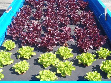 Delicious thriving crops can be raised in the aquaponic system