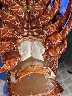 picture of underside of lobster with white substance between the last two pairs of legs